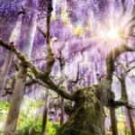 足立花卉公園紫藤花