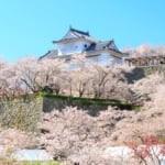 津山城櫻花