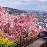 松田山西平畑公園櫻花祭