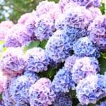 日本繡球花